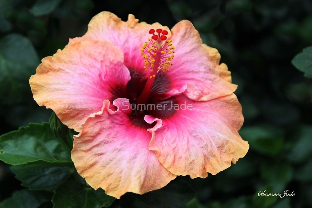 Fancy Tri-color Hibiscus ~ Magical by SummerJade