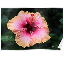Fancy Tri-color Hibiscus ~ Magical Poster