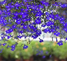 Blue Lobelia Flowers by Danuta Antas
