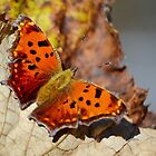 Eastern Comma Butterfly by Laurie Minor