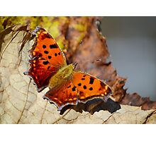 Eastern Comma Butterfly Photographic Print