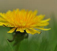 Dandelion by Heather Thorsen