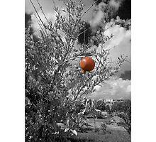 Pomegranate Photographic Print