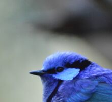 Blue Wren Sticker