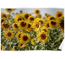 Sunflowers swaying in the wind close to Poster