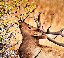 Elk Portrait by Catherine Fenner