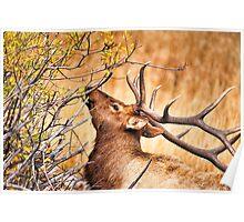 Elk Portrait Poster
