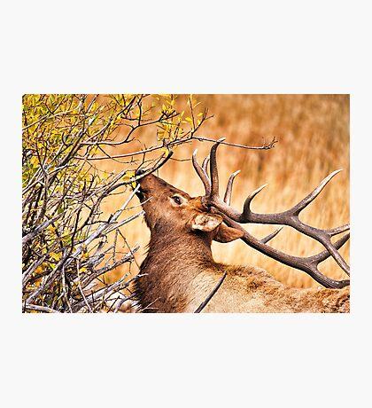 Elk Portrait Photographic Print