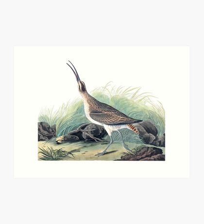 Whimbrel - John James Audubon Art Print