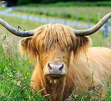 Highland Cattle, Scotland by fotosic