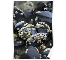 Barnacles on Mussels Poster