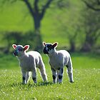 Two lambs by LindaCooke