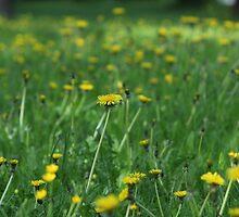 Rise of the dandelions by Matti Eskelinen