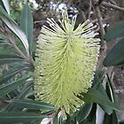 Very Fresh Coastal Banksia, Boulder Beach Walk. Ballina N.S.W. Nth. Coast. by Rita Blom