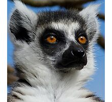 Watching His Group - Ring-tailed Lemur Photographic Print