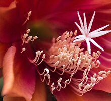 Flower within a flower by indiafrank