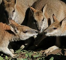 Wallaby Conference by DevineNature