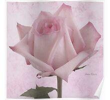 Single Pink Rose Blossom Poster