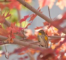 Autumn Warbler by Diana Graves Photography