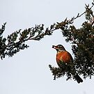 Robin With Juniper Berry by Debbie Oppermann