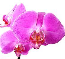 Orchid by Darkmonkey