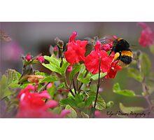 Bumble Bee Bum ~ Photographic Print
