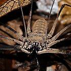 Whip Tail scorpion -   Napo River - Amazon  Ecuador by john  Lenagan