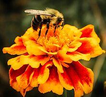 Autumn Marigold by Kelly Carmody