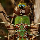 Green Darner #2   by Kane Slater