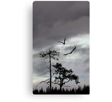 The white-tailed eagles of Kuhmo Canvas Print