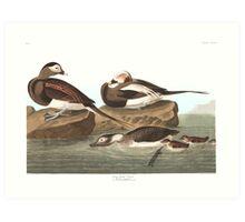 Long-tailed Duck - John James Audubon Art Print