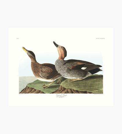 Gadwall - John James Audubon Art Print