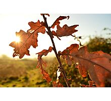 Winter Oak Leaves Photographic Print