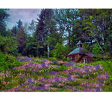 A Riot of Lupine Outside the Cabin  Photographic Print