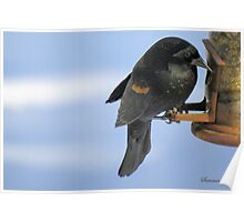 Red-Winged Blackbird ~ Immature Male  Poster