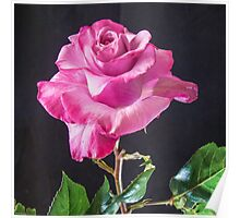 Pink Rose - Baron De Rothschiid Poster