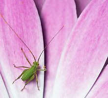 Baby cricket by hanspeters