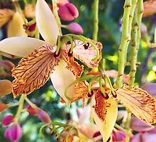 Tamarind Blooms, like orchids by IslandEffect