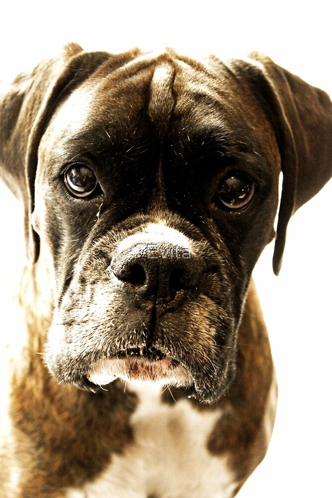 Let Me Tell You A Secret - Boxer Dogs Series by Evita