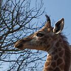 Profile of a baby giraffe by Fiona Ayerst