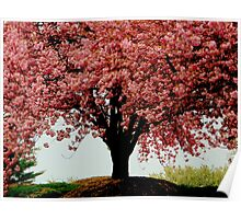 Cherry Blossom Beauty  ^ Poster