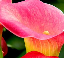 CALLA LILY  ^ by ctheworld