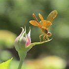 Dragonfly on Rosebud by Ingasi