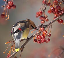 Cedar Waxwing Eating Berries 7 by Thomas Young