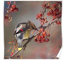 Cedar Waxwing Eating Berries 7 Poster