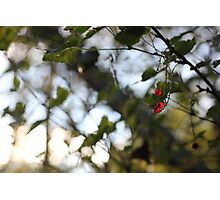 A wild redcurrant growing in the forest Photographic Print