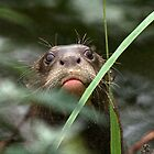 Giant Otter by GreyFeatherPhot