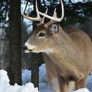 White Tail Deer by Poete100