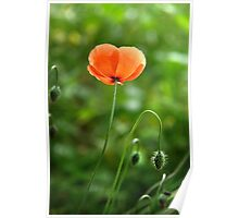 Red Poppy Flower in the Field Poster
