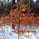 Beech Trees In Winter by Debbie Oppermann